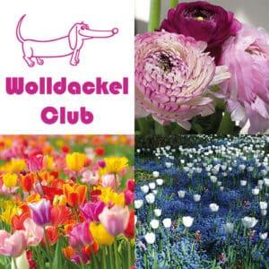 Handgefärbte Wolle Wolldackel Club – Blumengrüße gefärbte Wolle kaufen